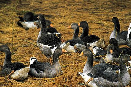 Gascony ducks