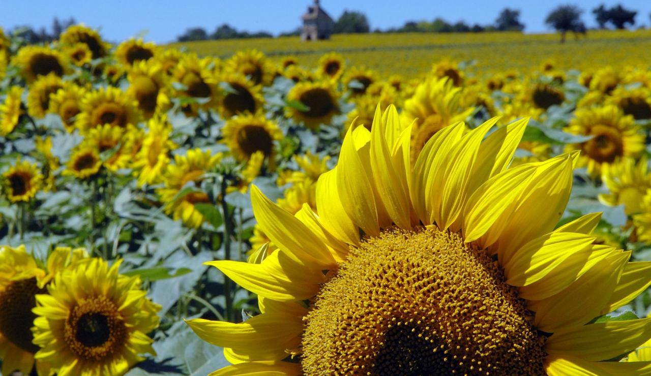 gascony-sunflowers