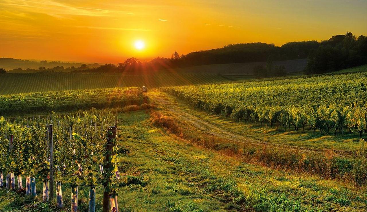 gascony-vineyard