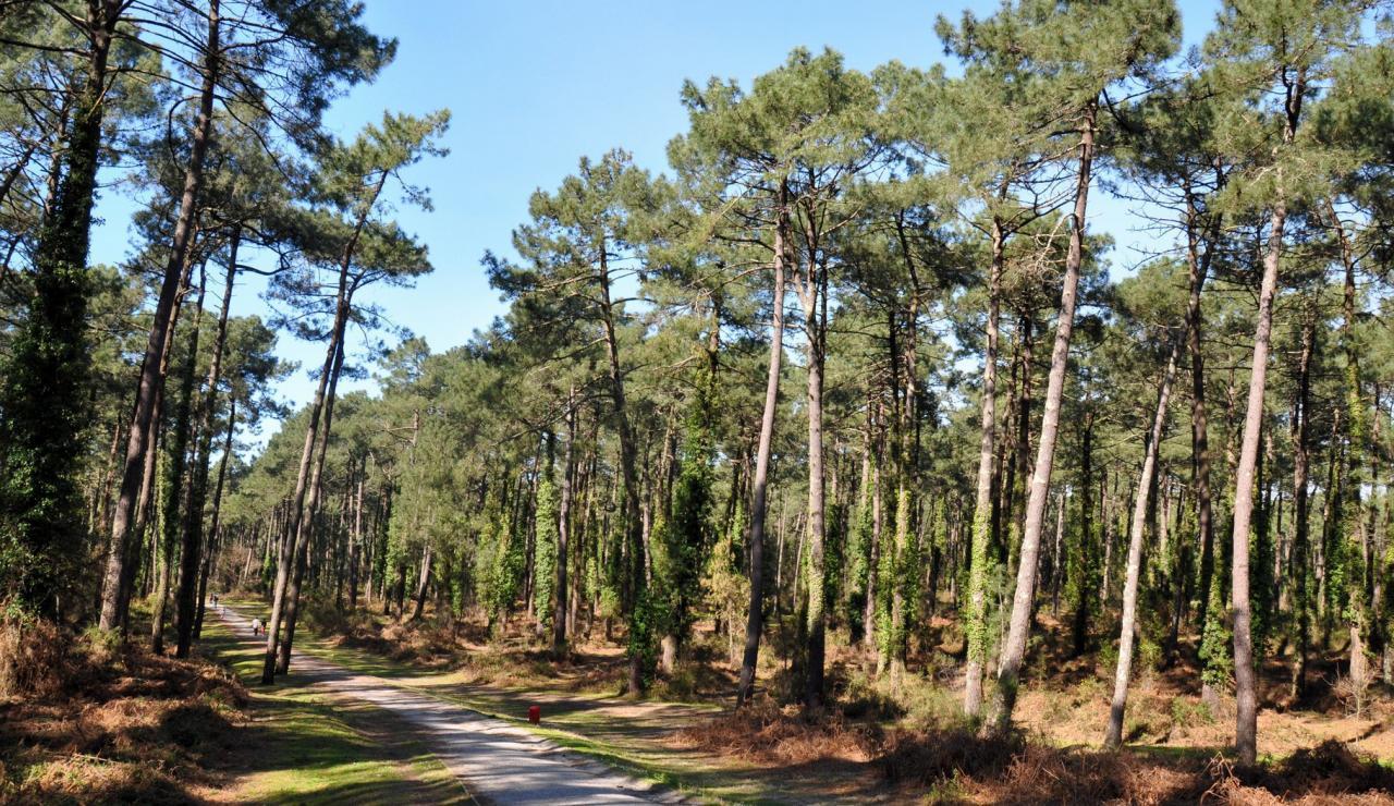 chiberta-pine-forest